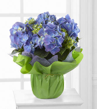 Blue Beauty Hydrangea - FedEx