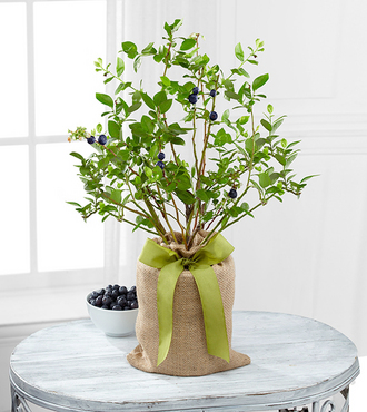 Ftd Berry Beautiful Blueberry Plant By Better Homes And