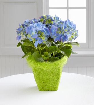 FTD Blue Skies Hydrangea Plant - FedEx