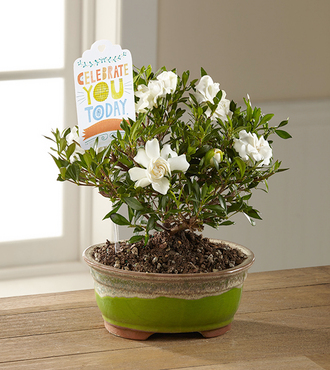 FTD Celebrate You Gardenia Bonsai by Hallmark - FedEx