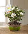 Ftd Celebrate You Gardenia Bonsai By Hallmark Fedex