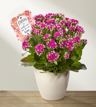 FTD Love Defined Mother's Day Kalanchoe by Hallmark - FedEx