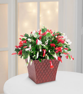 FTD Peppermint Perfection Christmas Cactus by Better Homes ...