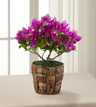 FTD Flowering Fuchsia Bougainvillea Plant by Better Homes and Gardens- 4.5-inch - FedEx
