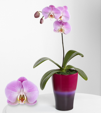 Smithsonian Sweet Sensation Phalaenopsis Orchid - FedEx