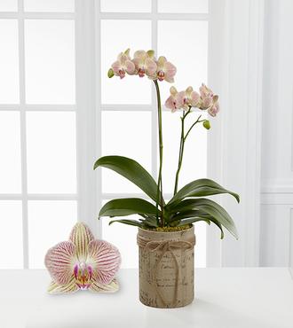 Smithsonian Hopeful Tomorrows Phalaenopsis Orchid - FedEx