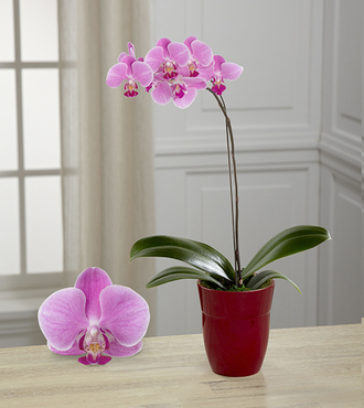 Dream Discovery Phalaenopsis Orchid - FedEx