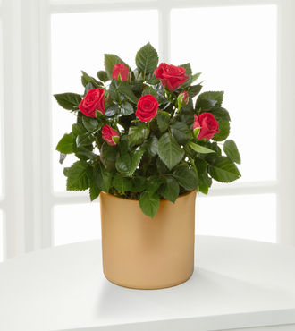 Sheer Elegance Mini Rose Plant - FedEx