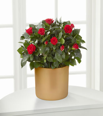 Sheer Elegance Mini Rose Plant - 6.5 inch - FedEx