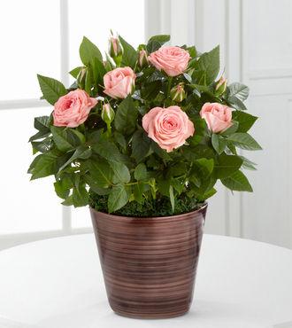Sweet Beauty Mini Rose with Chocolates - FedEx