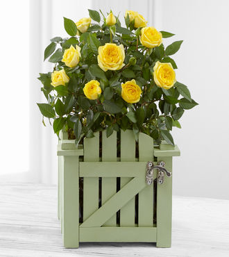 Garden Gate Mini Rose Plant - FedEx