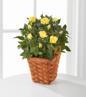 Lighthearted Moments Mini Rose Plant - FedEx - WGPS21