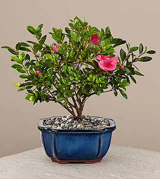 Blooming Azalea Bonsai - 8 inches - FedEx - P119