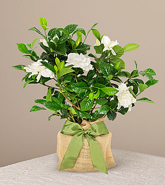 Graceful Gardenia Plant - FedEx - P2159