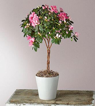 Flowers Fast coupon: Bright Azalea Topiary - FedEx
