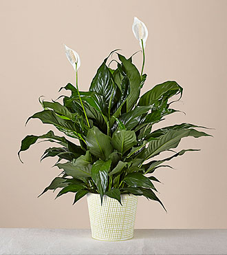 Peace Lily Plant - FedEx