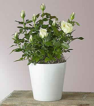 Flowers Fast coupon: Pure and True White Roses - FedEx