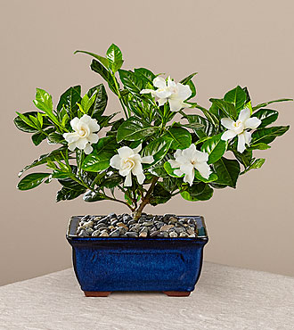 Blossoming Abundance Gardenia Bonsai - 8 inches - FedEx - PB11