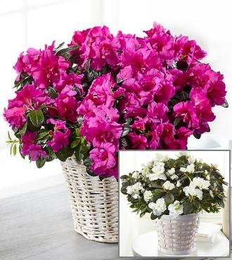 http://www.FlowersFast.com - Blooming Azalea
