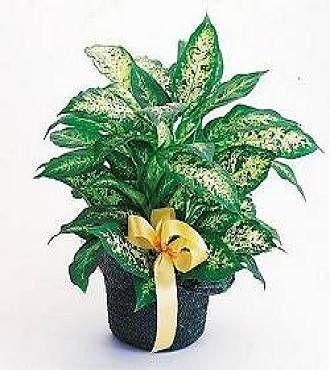 http://www.FlowersFast.com - Diffenbachia Basket