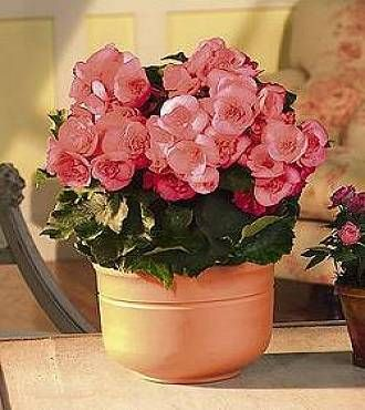 growing begonias begonia plants common house plants low light - Low Light Flowering House Plants