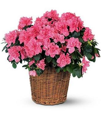 http://www.FlowersFast.com - Azalea Basket