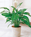 Image of Standard version for Peace Lily in Basket